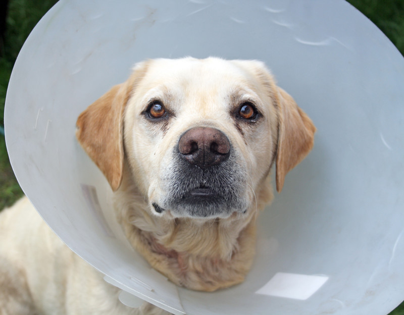 Pet surgery in Fort Collins